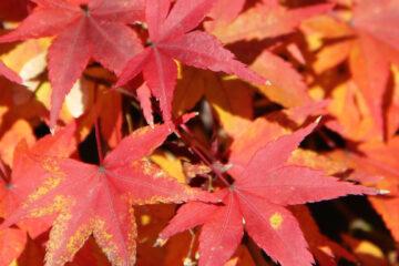 Leaves in Kyoto